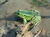 Portret żaby