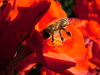 Taka sobie pszczolka