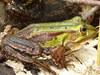 Żaba z Więcborka